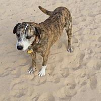 Catahoula Leopard Dog/Cattle Dog Mix Dog for adoption in Danbury, Connecticut - Bonnie