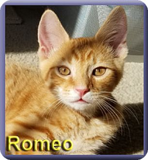 Domestic Shorthair Kitten for adoption in Aldie, Virginia - Romeo