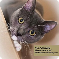 Domestic Shorthair Cat for adoption in Spring, Texas - Sketch