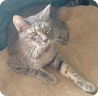 Domestic Shorthair Cat for adoption in Des Moines, Iowa - Noodles