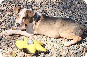 Australian Shepherd/Terrier (Unknown Type, Small) Mix Puppy for adoption in Cairo, Georgia - Pebbles
