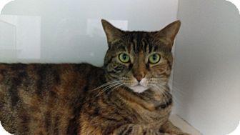 Domestic Shorthair Cat for adoption in Fairfax, Virginia - MJ