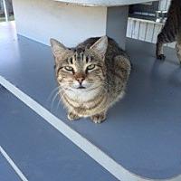 Domestic Mediumhair Cat for adoption in Thibodaux, Louisiana - Hissy FE2-9233