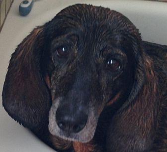 Basset Hound/German Shepherd Dog Mix Dog for adoption in San Francisco, California - Maevis **foster or adopt**