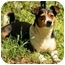 Photo 1 - Beagle/Rat Terrier Mix Dog for adoption in Spring Valley, New York - Gizzy