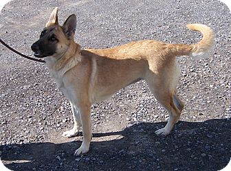 German Shepherd Dog Dog for adoption in Tully, New York - LACY  (BLUE)