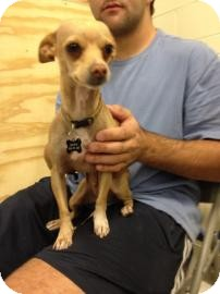 Chihuahua Mix Dog for adoption in Tucson, Arizona - Ryan
