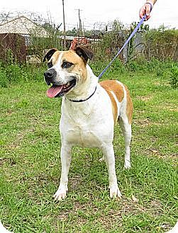 American Staffordshire Terrier Mix Dog for adoption in Jackson, Mississippi - Buster