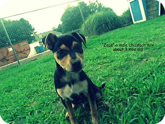 Chihuahua/Dachshund Mix Puppy for adoption in Gadsden, Alabama - Zeus