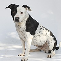 Pit Bull Terrier Mix Dog for adoption in Los Angeles, California - Miha