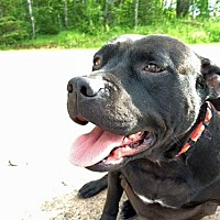 American Staffordshire Terrier/American Bulldog Mix Dog for adoption in Park Falls, Wisconsin - Munch