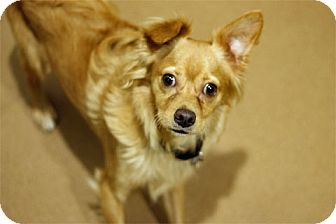 Pekingese Mix Dog for adoption in Chicago, Illinois - Champagne