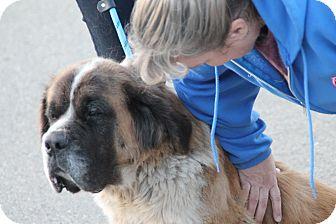 St. Bernard Dog for adoption in Bellflower, California - Roxy