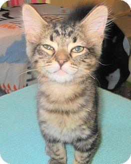 Domestic Shorthair Kitten for adoption in Palm Springs, California - Angel