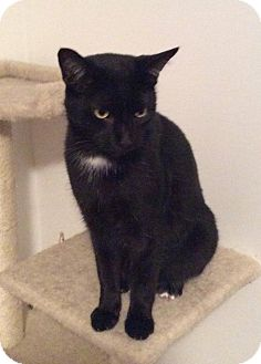 Domestic Shorthair Cat for adoption in Speedway, Indiana - Toes