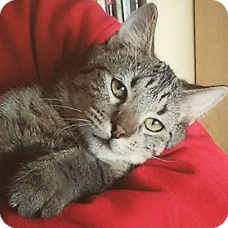 Domestic Mediumhair Cat for adoption in Naperville, Illinois - Feisty