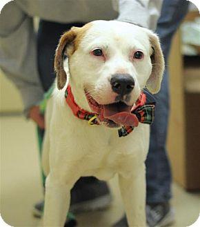 Labrador Retriever/Hound (Unknown Type) Mix Dog for adoption in Fairfax Station, Virginia - Cora