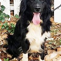 Adopt A Pet :: Bear - Lawrenceville, GA