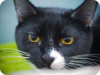 Domestic Shorthair Kitten for adoption in Los Angeles, California - Ephesus