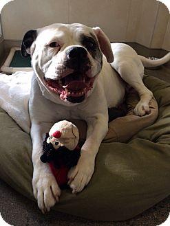 American Bulldog Dog for adoption in Berkeley, California - Stella *Adoption Fee Waived*