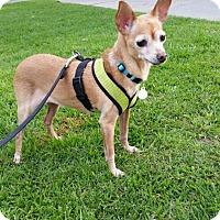 Adopt A Pet :: Clover - Monrovia, CA