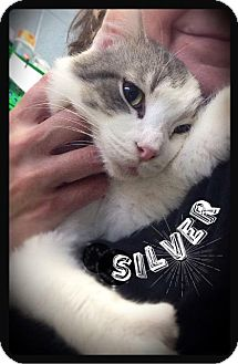 Domestic Shorthair Cat for adoption in Hartford City, Indiana - Silver