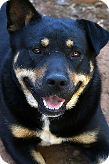 Blue Heeler/Shepherd (Unknown Type) Mix Dog for adoption in Wichita Falls, Texas - Beau