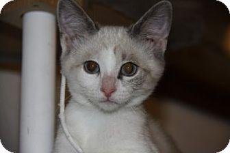 Siamese Kitten for adoption in Davis, California - Blitz