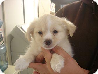Pekingese/Pomeranian Mix Puppy for adoption in Greencastle, North Carolina - Shoestring