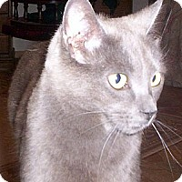 British Shorthair Cat for adoption in Lake Arrowhead, California - River