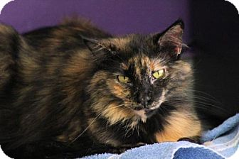 Domestic Longhair Cat for adoption in Fresno, California - Calypso Hiser