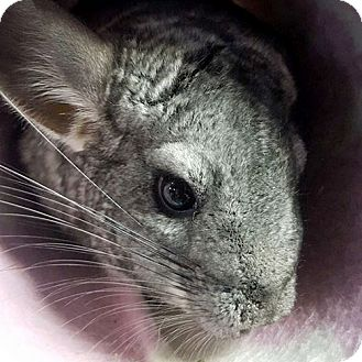Chinchilla for adoption in Patchogue, New York - Talini