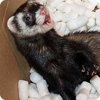 Ferret for adoption in Indianapolis, Indiana - Ziggy