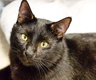 Bombay Cat for adoption in oakland park, Florida - Neguino