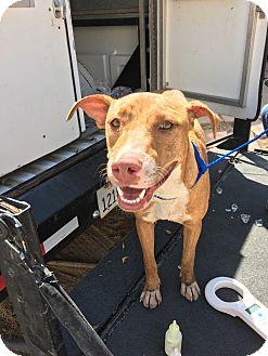 Labrador Retriever/American Pit Bull Terrier Mix Dog for adoption in El Centro, California - Azalea