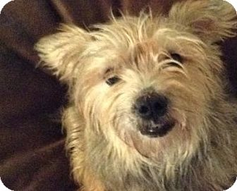 Yorkie, Yorkshire Terrier Mix Dog for adoption in Cincinnati, Ohio - Scout