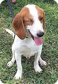 Beagle Dog for adoption in Houston, Texas - Louie
