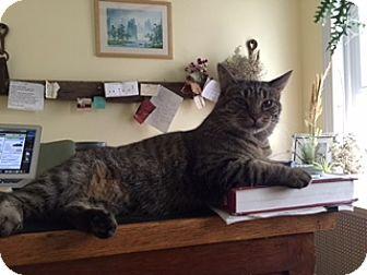Domestic Shorthair Cat for adoption in Philadelphia, Pennsylvania - Joanelle