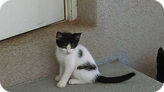 American Shorthair Kitten for adoption in Lakeland, Florida - Sam