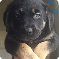 Adopt A Pet :: Fig - Pitt Meadows, BC