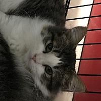 Adopt A Pet :: Feline Elisha - Remus, MI