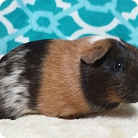 Guinea Pig for adoption in South Bend, Indiana - Hazel
