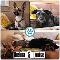 Adopt A Pet :: Thelma - Kimberton, PA