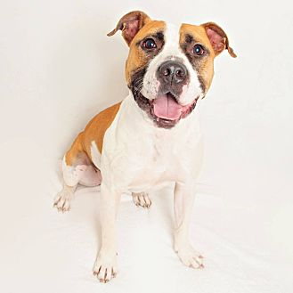 Boxer/Pit Bull Terrier Mix Dog for adoption in Columbus, Ohio - Christopher