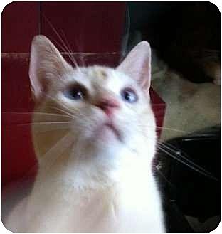 Siamese Cat for adoption in Austin, Texas - Flint