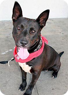 Pit Bull Terrier/Shepherd (Unknown Type) Mix Dog for adoption in Bellflower, California - Jamaica