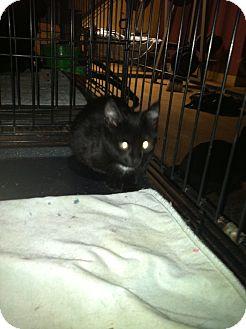 Domestic Shorthair Kitten for adoption in Clay, New York - JUSTIN,JASON.JASPER