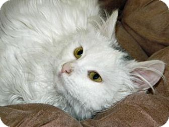 Domestic Longhair Kitten for adoption in Cheyenne, Wyoming - Boo