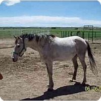 Adopt A Pet :: Shugar - Pueblo, CO