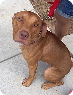 Pit Bull Terrier/American Pit Bull Terrier Mix Dog for adoption in Atlanta, Georgia - Bubba Gump